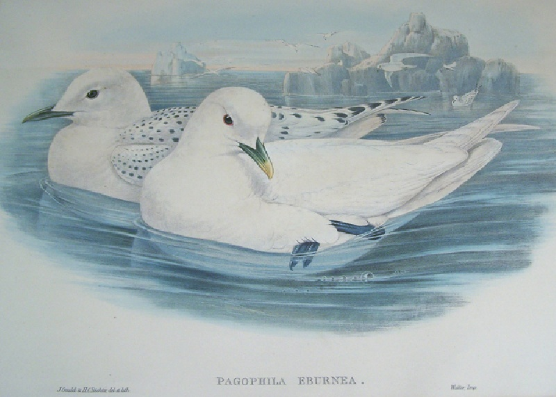 Gould and Richter print of Ivory Gull