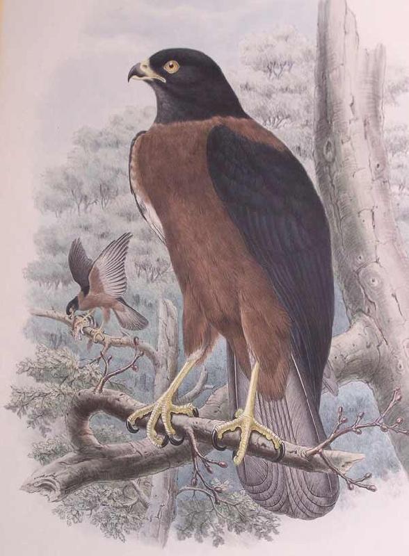 Gould & W. Hart Birds of New Guinea print