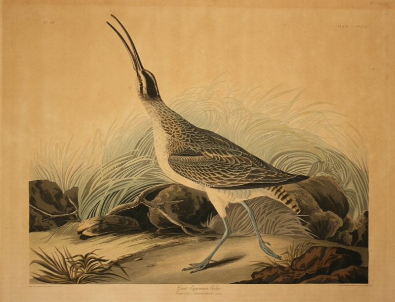 John James Audubon,  Havell edition, circa 1835
